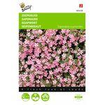 rock soapwort flowerseeds