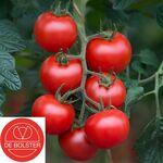 Organic Tomato seeds 'Bolstar Gimli F1'