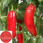 Organic Sweet Pepper Seeds Xaro