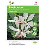 Gaura Sparkle White Flower Seeds