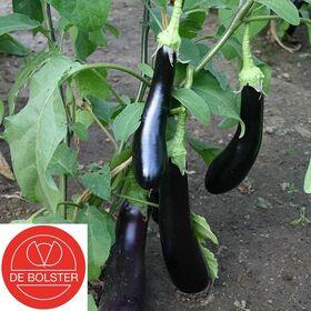 Organic Eggplant Violetta Lunga 3