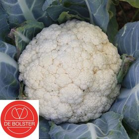Organic Cauliflower Seeds Flora Blanca