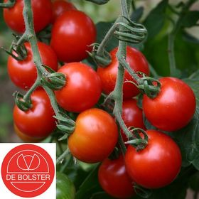 Organic Cherry tomatoes seeds 'Zuckertraube'