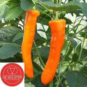 Organic Sweet Pepper Seeds Kyra