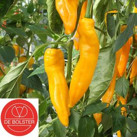 Organic Sweet Pepper Seeds Zazu Yellow